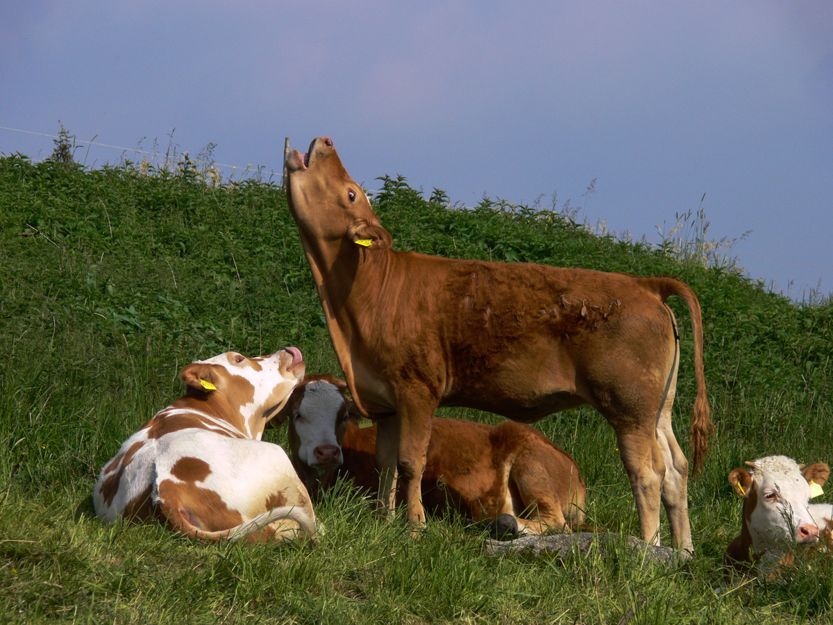 Kühe auf der Weide (Bild: Der Weg)