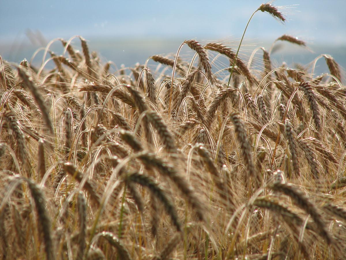 Reifes Getreide (Bild: Der Weg)